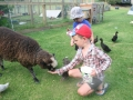 Ebony-the-pet-sheep.JPG