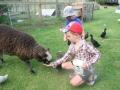 Feeding the pet sheep, Pukenui Holiday Park