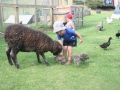 Feeding the pet sheep, Pukenui Holiday Park