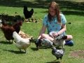 chooks-and-ducks.jpg