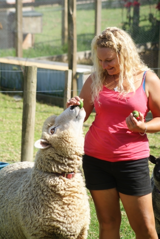 feeding Rambo the pet sheep at Pukenui Holiday Park