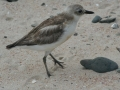 The threatened Dotterel nests at Rarawa Beach, 20 mins from Pukenui Holiday Park