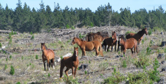 Wild Horses of Aupouri Forest